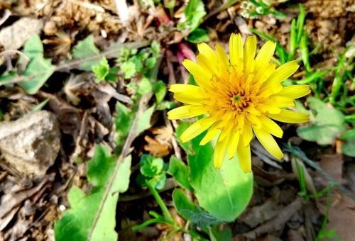 Growing dandelion