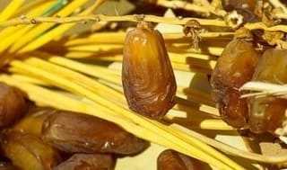 Ripe palm dates