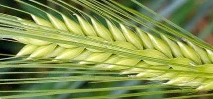 Spikes of barley