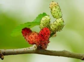 Unripe mulberries